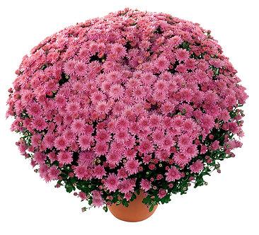 Crizantema - Roz Branbunny