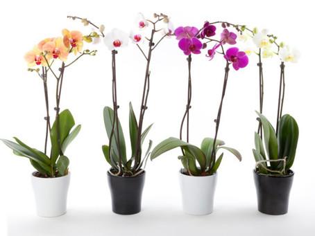 Ingrijire orhidee - Inmultire, Boli, Ingrijire iarna