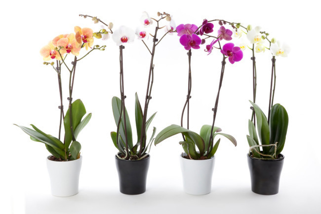 ingrijire-orhidee-apartament