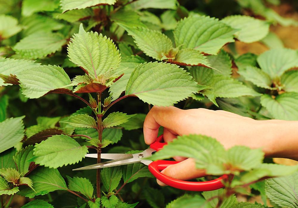 plante-coleus-urzicuta-inmultire