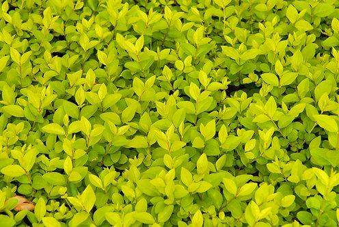 LEMN CAINESC - Ligustrum Ovalifolium Lemon