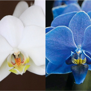 Orhidee Albastra – Vopsita, Mutanta si Naturala