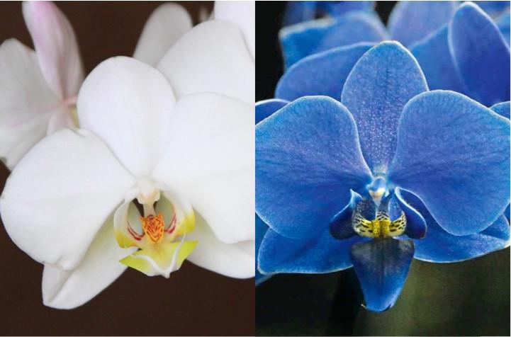 orhidee-albastra-alb
