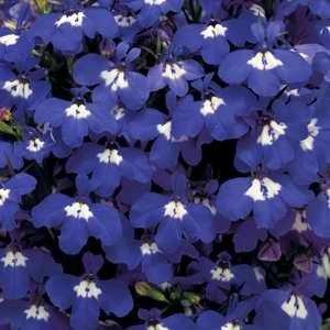 Lobelia Hot Blue Eyes (CLO001)