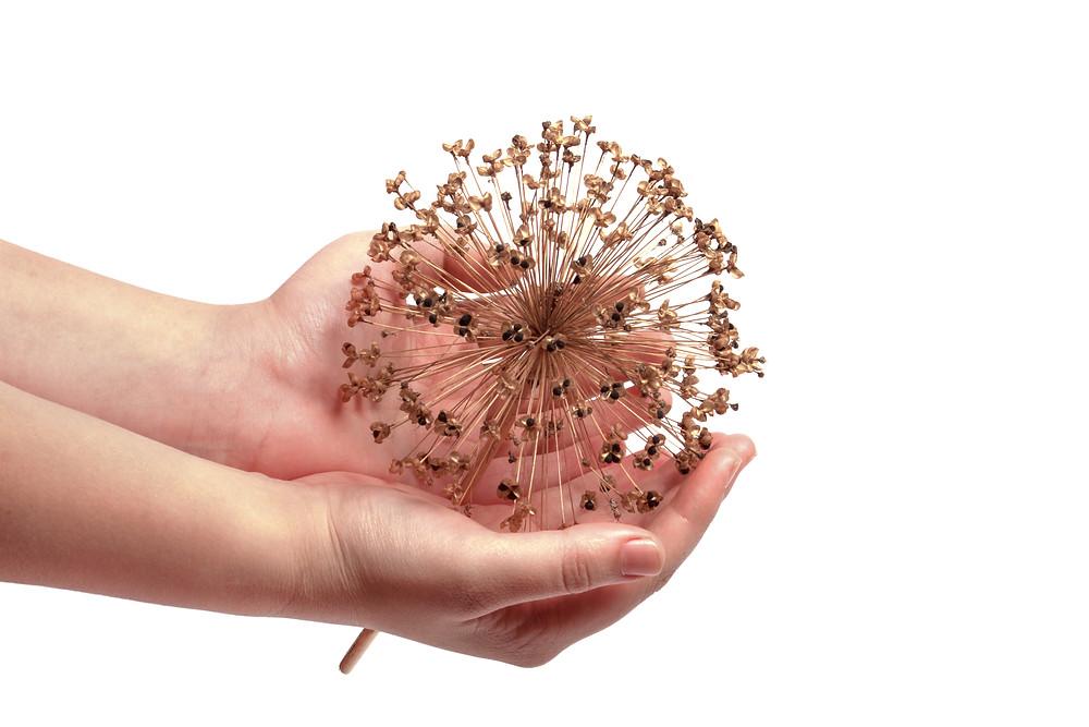 Ceapa-Decorativa-Inmultire-Allium