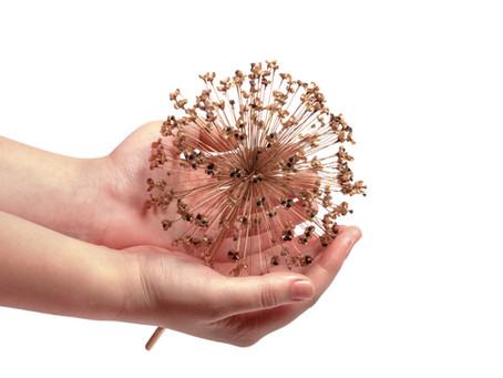 (Allium) Ceapa Decorativa | Ornamentala – Inmultire, Plantare, Ingrijire