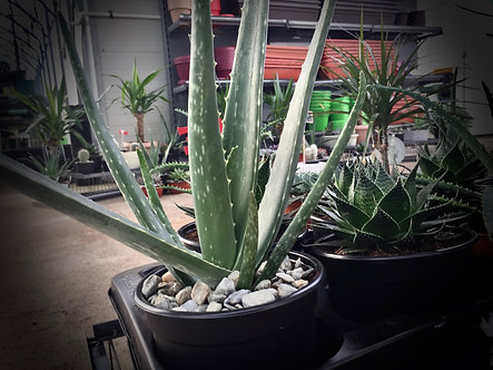 ALOE ARBORESCENT -Aloe Arborescens