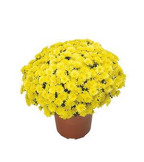 Crizantema - Galbena Brandune