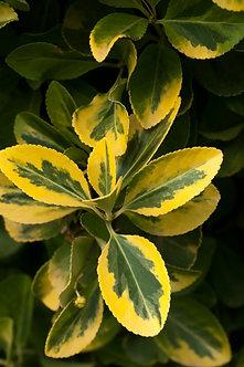 LEMN CAINESC - Ligustrum Ovalifolium Aureum