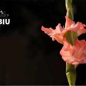 Gladiole – Plantare, Ingrijire si Inmultire