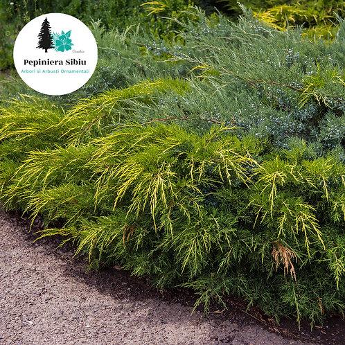 IENUPAR Tarator Verde-Auriu 20-40cm (2L)