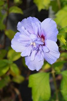 HIBISCUS Syriacus Blue Chiffon