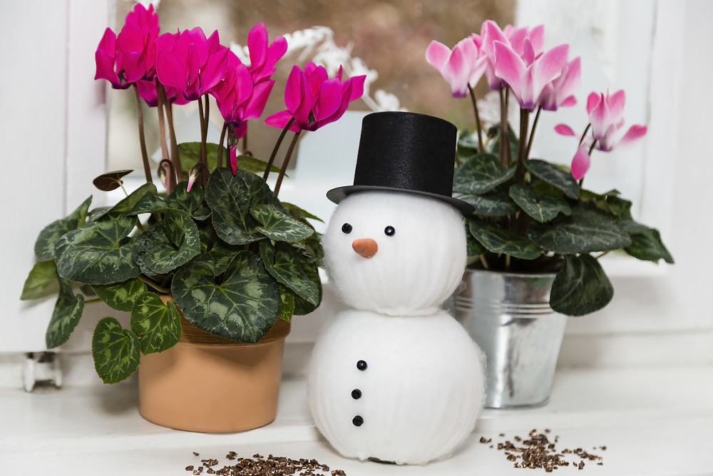 cyclamen-ingrijire-iarna