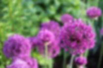 Flori de Gradina cu Bulbi