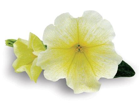 Petunie Surfina Victorian Yellow (CPE010)