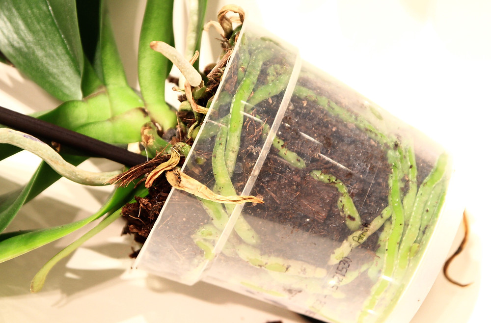 orhidee-phalaenopsis-ingrasaminte
