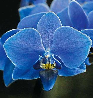 ORHIDEE ALBASTRA - Orhidee Phalaenopsis