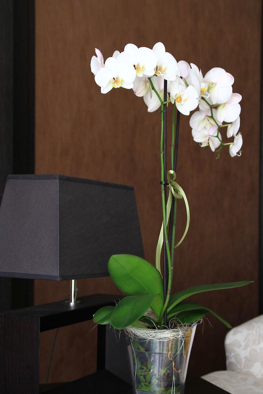 orhidee-phalaenopsis-alba