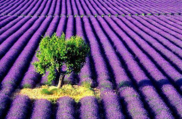 Camp-Lavanda-Franta-Provence