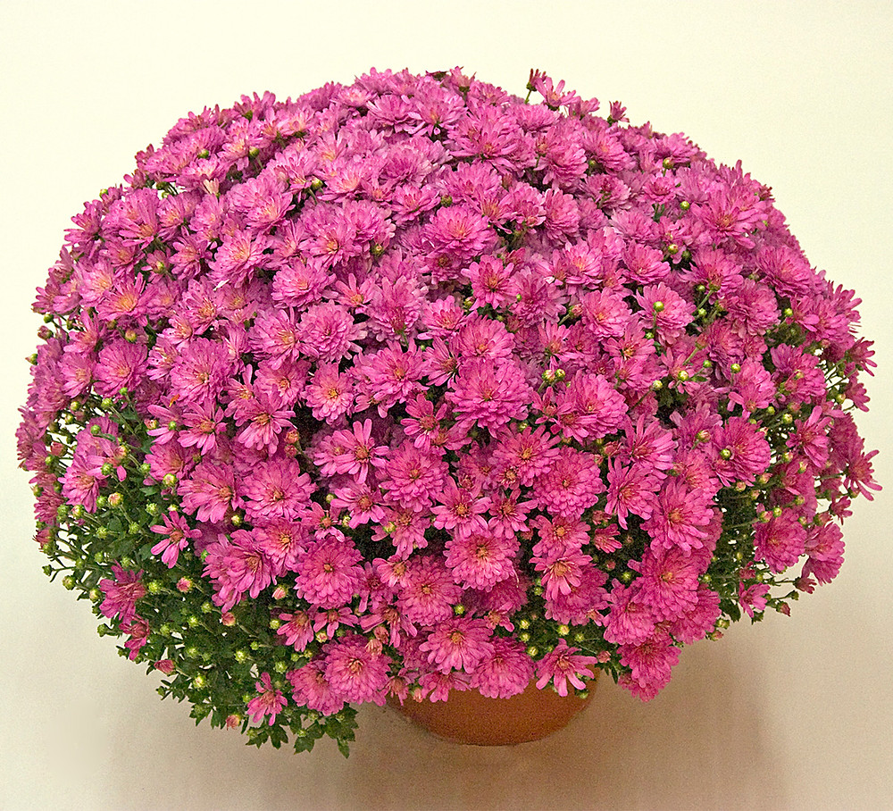 crizanteme-inflorire-august