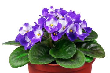 violeta-parma-flori-apartament