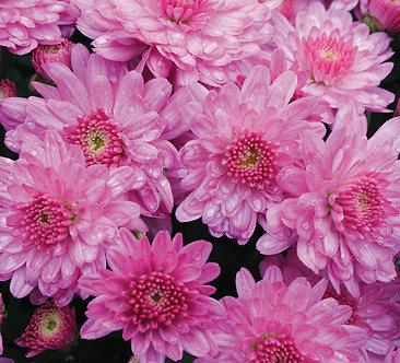 Crizantema - Roz Branfountain Pink