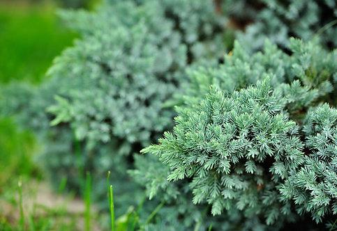 """IENUPAR TARATOR - Juniperus Squamata """"Blue Star"""""""