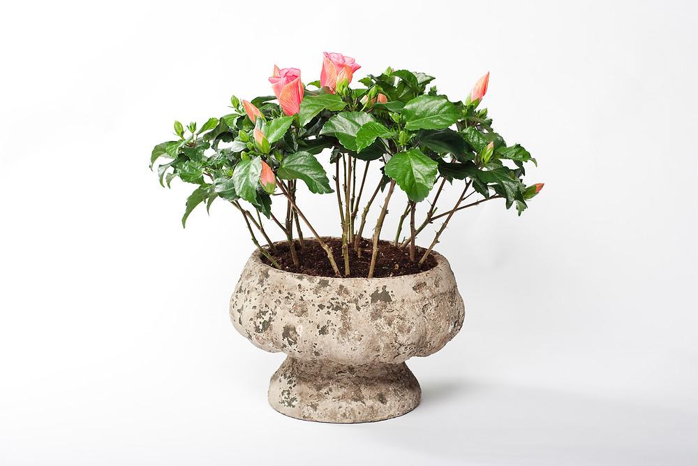 trandafir-japonez-roz