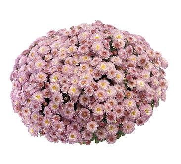 Crizantema - Roz Brandream