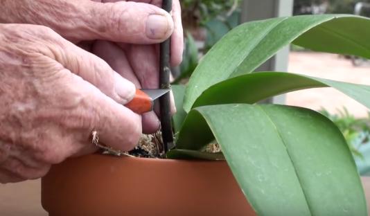 orhidee-albastra-crestare