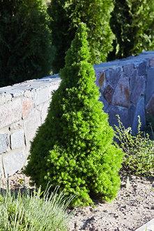 MOLID CANADIAN - Picea Glauca Conica