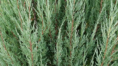 IENUPAR - Juniperus Blue Arrow