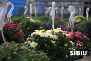 crizanteme-sera-flori-sibiu