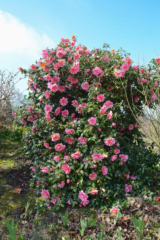 căderea în greutate camellia)