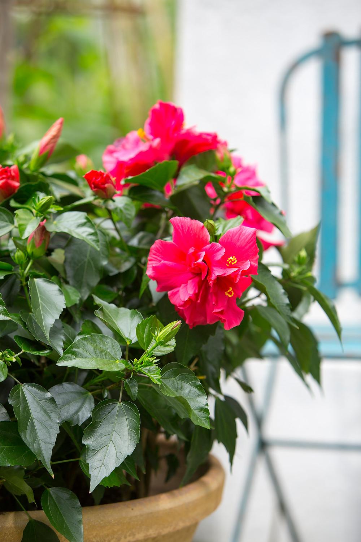 trandafir-japonez-rosu