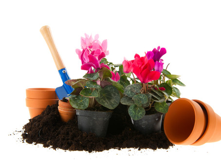 Floarea Cyclamen – Ingrijire si Inmultire, in ghiveci sau in gradina