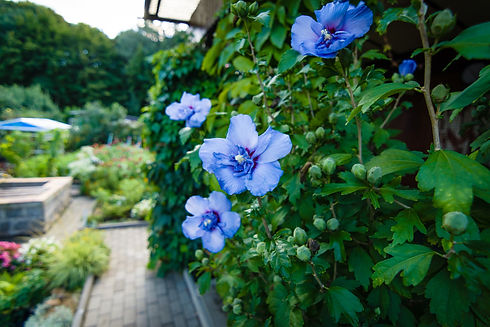 hibiscus_albastru.jpg
