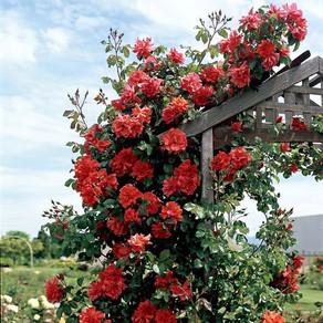 Trandafiri Urcatori - cumpara si ingrijeste cum trebuie!