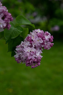 LILIAC - Syringa Vulgaris Katherine Havemeyer