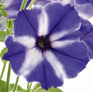 Petunia Blue Stradus (CPE012)