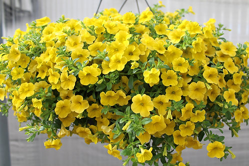 Calibrachoa Cabaret Yellow (CPE001)