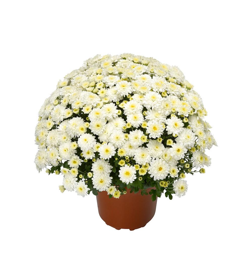 crizanteme-alb
