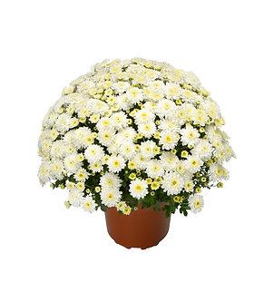 Crizantema - Alba