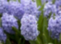 zambile-flori-primavara.jpg