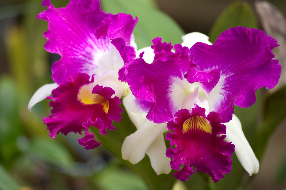 Orhidee-Cattleya