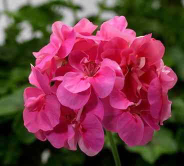 Muscata Temprano Pink (CMU003)