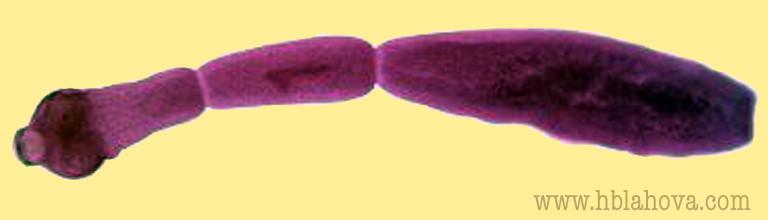 Tasemnice liščí -měchožil