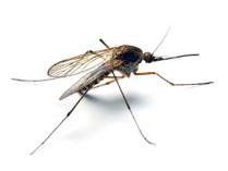 Kvůli oteplování se do mírného pásma šíří tropické nemoci přenášené komáry
