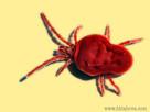 Sametky začínají útočit, jejich larvy zalézají lidem pod kůži