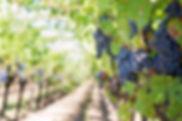 purple-grapes-553462.jpg